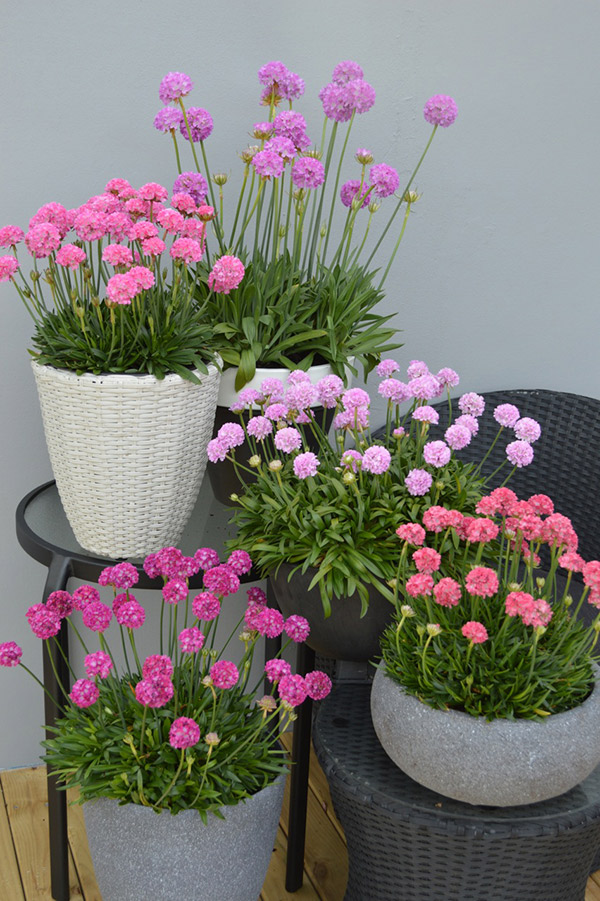 Armeria Dreameria collection photo