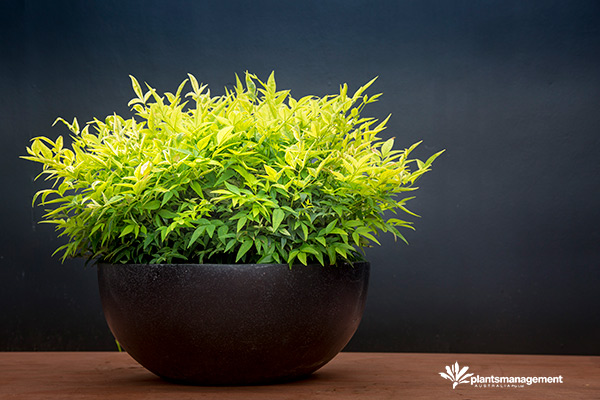 Nandina Magical Lemon Lime news photo